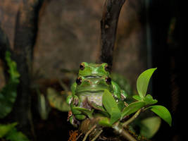 Frogs by TokinMonkey