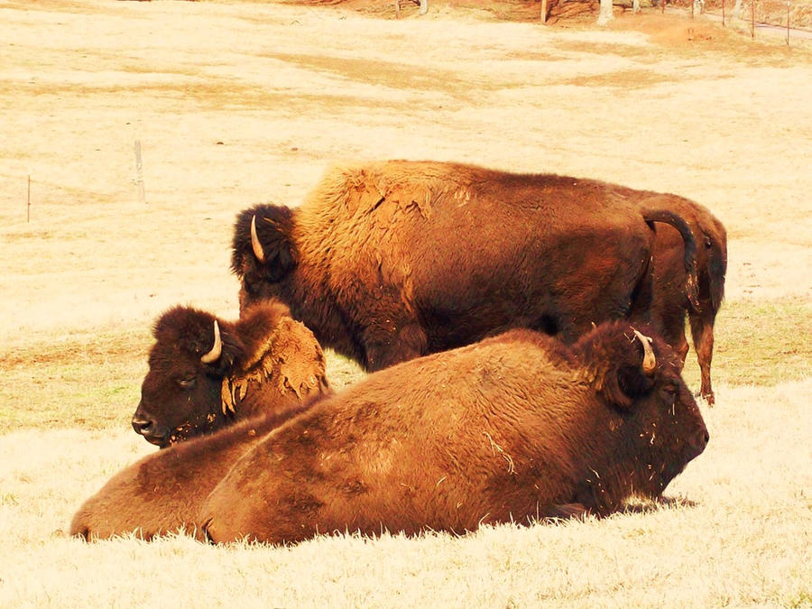 The Great American Buffalo by CrystalMarineGallery