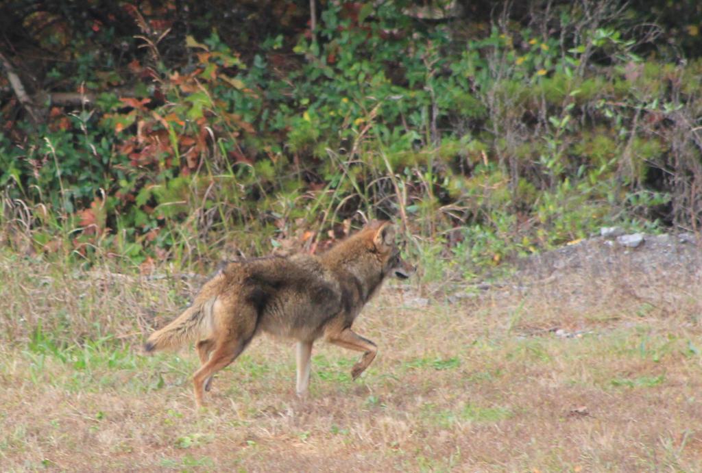 Coyote in my Backyard -2015 by Crystal-Marine on DeviantArt