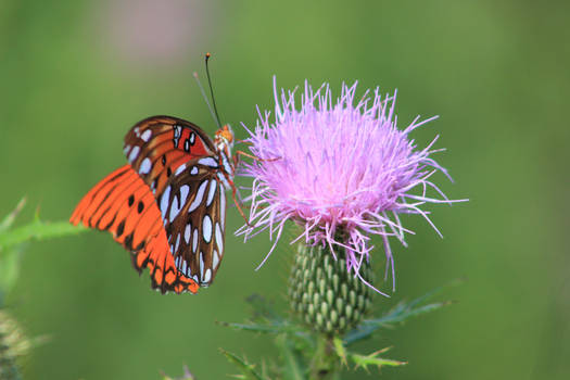 Butterfly and Swamp Thistle -2016