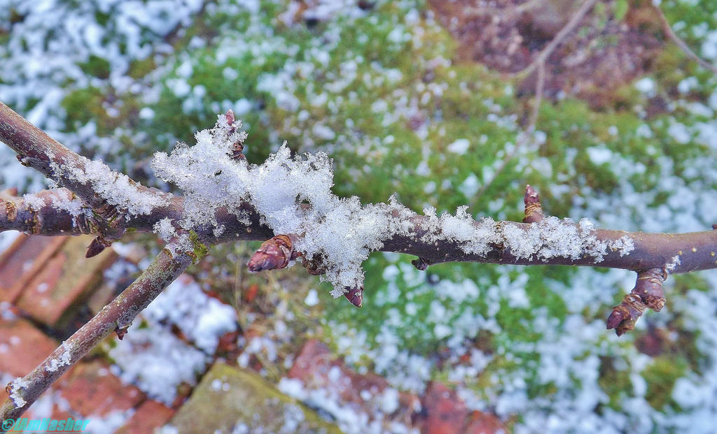 snowy twig by IamNasher