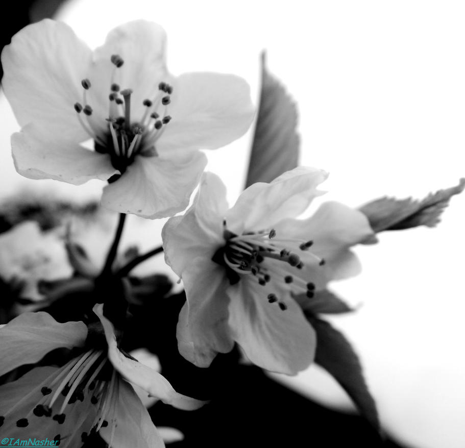 spring flowers 2015 15 by IamNasher