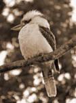 Ye Old Kookaburra