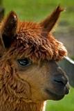 llama head by li0nblaze