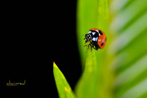 Ladybug by alwinred
