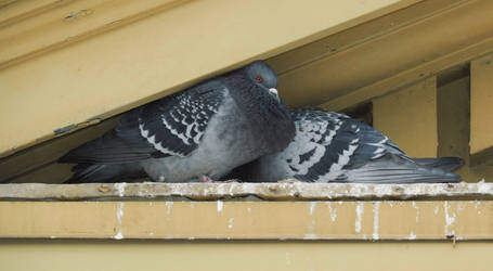 Two Pigeons Huddled On An Old Building Ledge by daveshaver