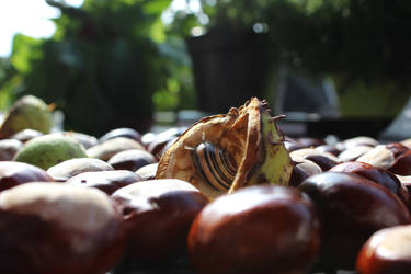 Chestnut: Snail-Hiding-Place
