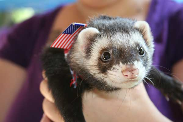 Patriotic Ferret - USA by rachellcoe