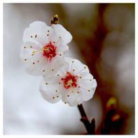 Apricot Tree... by Dwaelen
