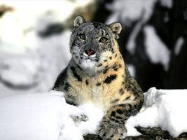 Snow Leopard by MikeSgame