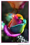 Happy Roses 11