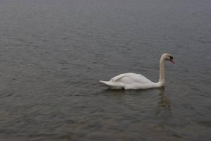 Swanning Around by wafitz
