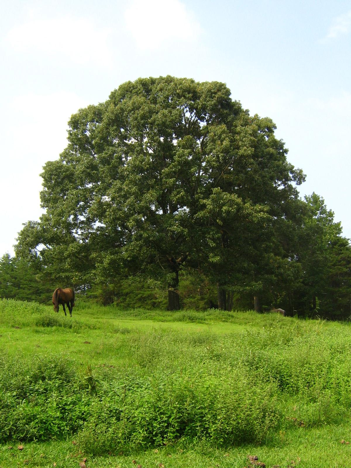 67 - Big Tree