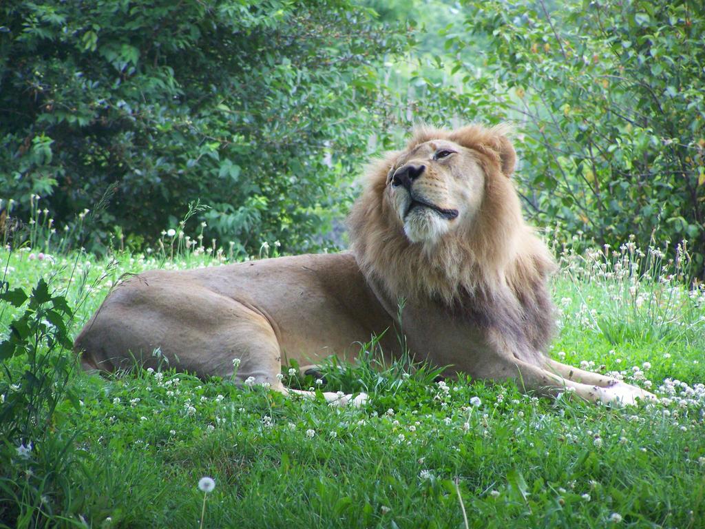 165 - Lion by absurdus