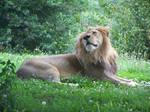 165 - Lion