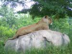 166 - Lioness