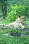 167 - Lioness