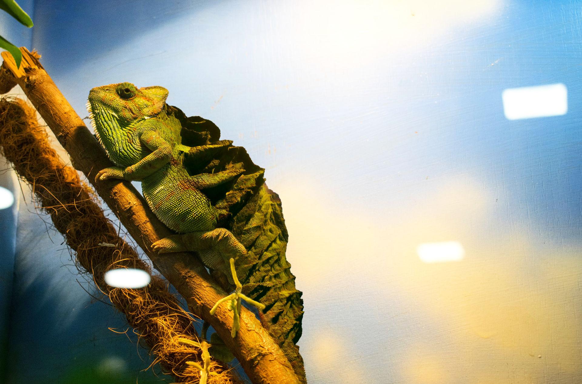 MountainBack Chameleon