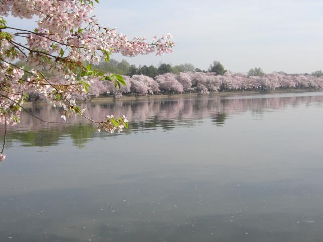 Cherry Blossom by vampire567