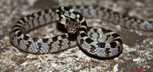 Cat Snake by kickmeto