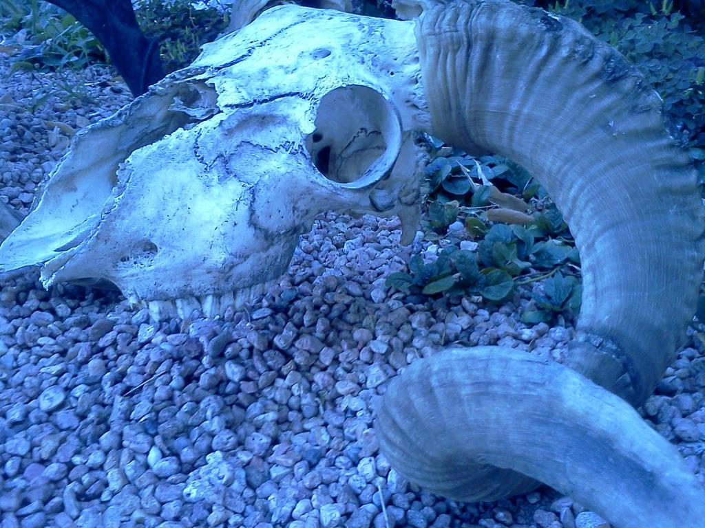 Goat Skull by DarkclawTimelord
