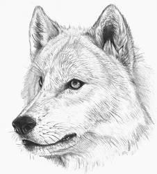 wolf sketch by hibbary