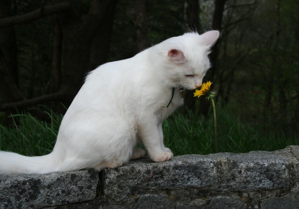 White cat smelling flower by NaviStock