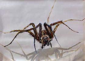 spider by squmsa