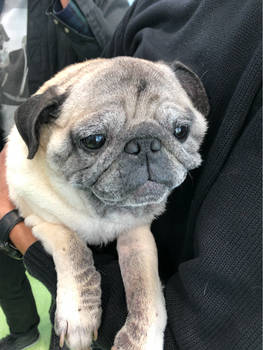 Quinton the Pug