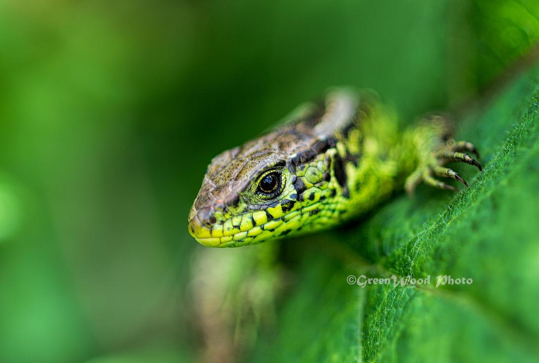 Lizard by Greenwood80