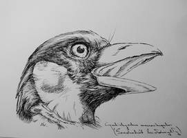 Sketchbook page 4/ black-and-red broadbill by Concini