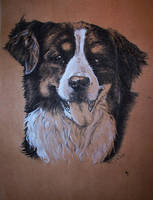 Bernese mountain dog by Concini