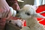 feeding the lamb