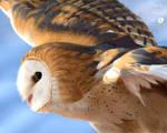 Soaring barn owl