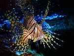 lion fish by scarlette13