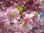 Fully blossomed