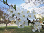 White blossom 1 by scarlette13