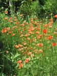 Poppy field vertical by scarlette13