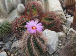 Violet cactus flower by scarlette13