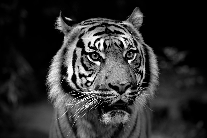 Big cat with stripes - BW by suuntoo