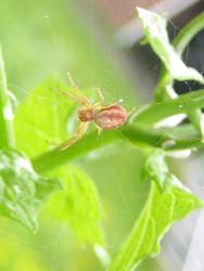 Orb Weaver Spider by firestar3590