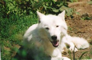wolf by gemz76