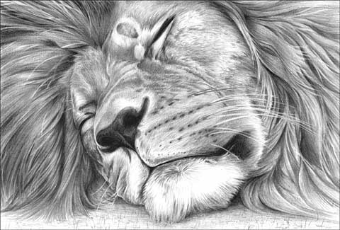 Pencil drawings of lions - photo#28