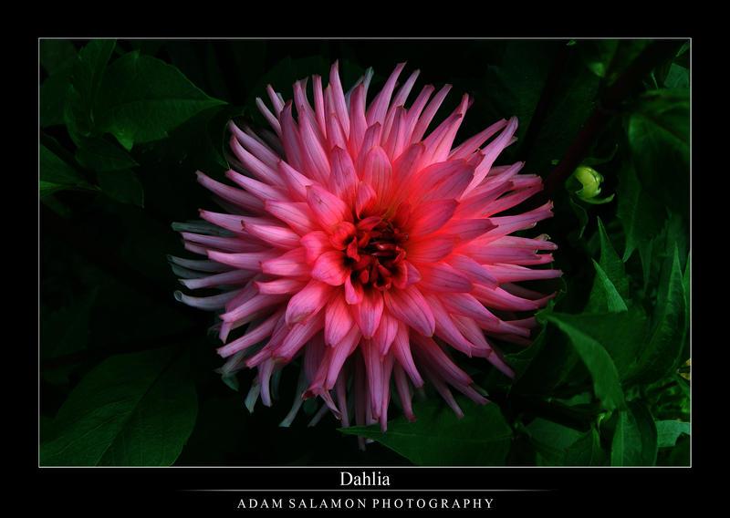 Dahlia by inf23