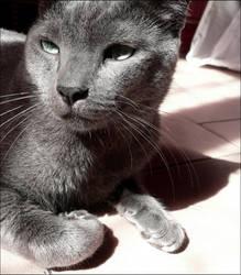 Soba . Grey cat