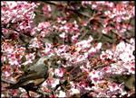 Sakura - Grey bird