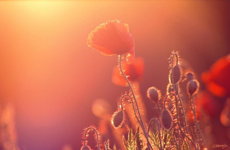 Poppy by DshaLie