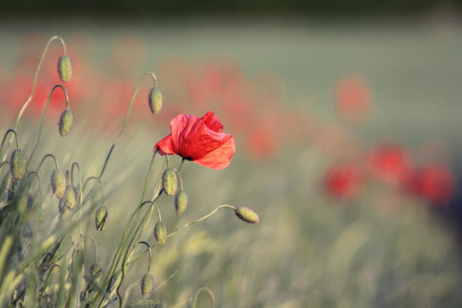 Poppyfields by DshaLie