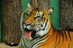 Indochinese Tiger by daikatana79