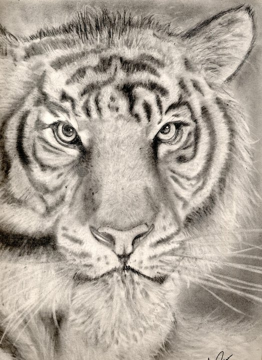 Tiger by heromex